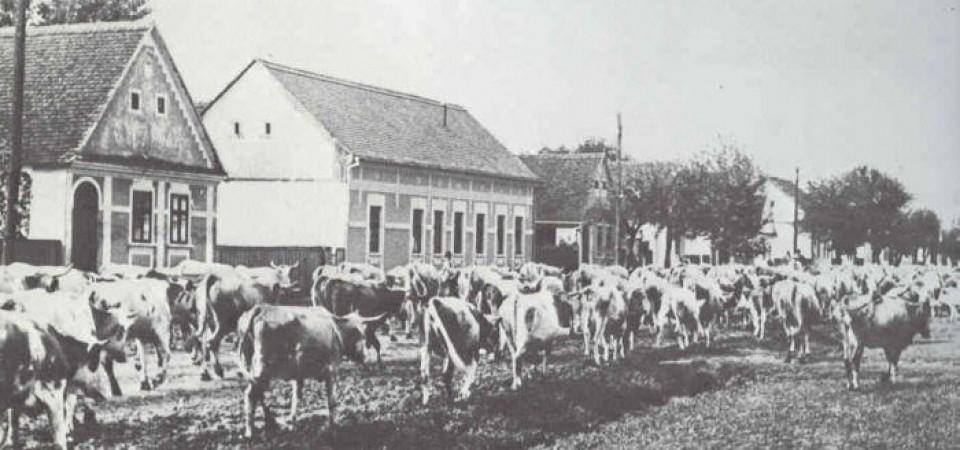 Na staroj fotografiji  iz Novih Banovaca vide se krave koje pasu , prva polovina 20. veka.Sa sajta www.neu-banovci.de