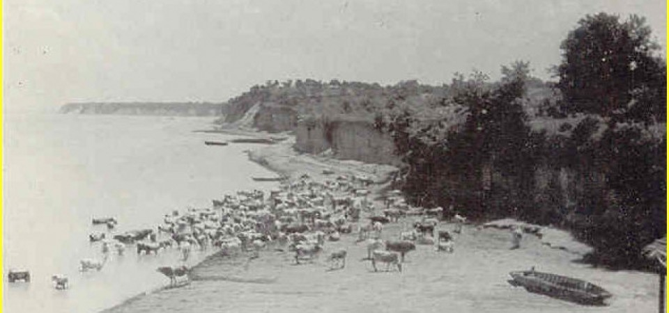 Na staroj fotografiji  iz Novih Banovaca vide se krave na Dunavu , prva polovina 20. veka.