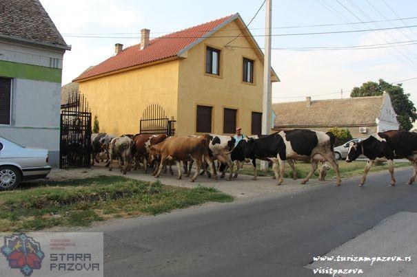 Povratak krava sa ispaše