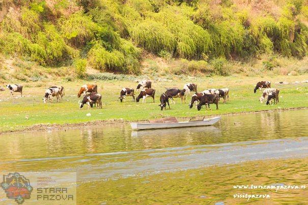 Krave na ispaši na obali Dunava